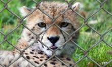 الخطر الذي يتهدد الفهود أكبر مما نعتقد بكثير