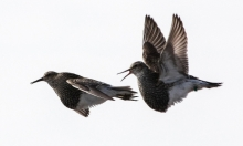 طائر الدريجة ورحلة البحث عن الأنثى