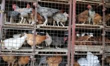 الصحة العالمية تناشد الدول تكثيف مراقبة أنفلونزا الطيور