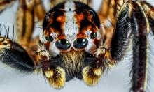 حديقة أسترالية تحث المواطنين على صيد العناكب السامة!