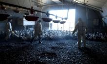 بريطانيا: تهديدات حقيقية من بؤر انتشار أنفلونزا الطيور