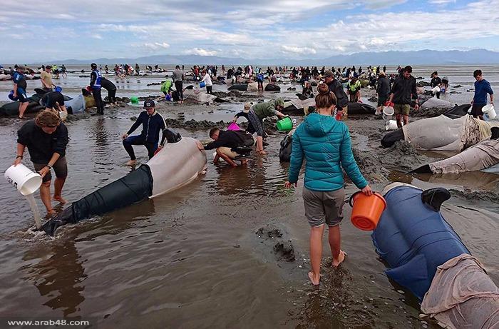 نيوزيلندا: سباق مع الزمن لإنقاذ مئات الحيتان