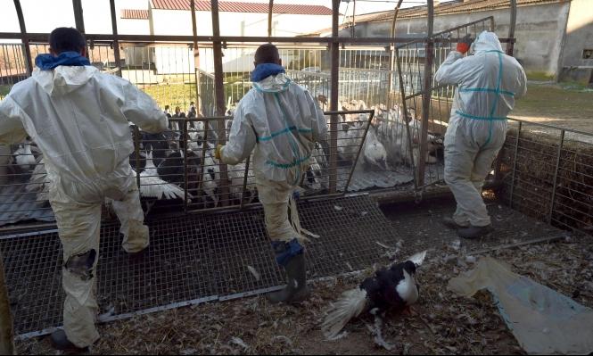 أنفلونزا الطيور تتفشى في فرنسا... وإعدام 3 ملايين طائر