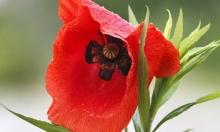 زهرة تفيض بالكهرباء... باحثون يحولون الوردة إلى بطارية
