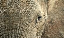 كم عدد ساعات نوم الفيل يوميا؟