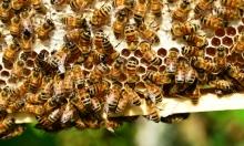 النحل الطنان ينضم إلى قائمة الأنواع المهددة بالانقراض
