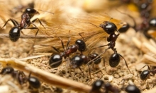 النمل الأسود: يشكل فصائل كبيرة ويشن حروبًا قتالية كالإنسان