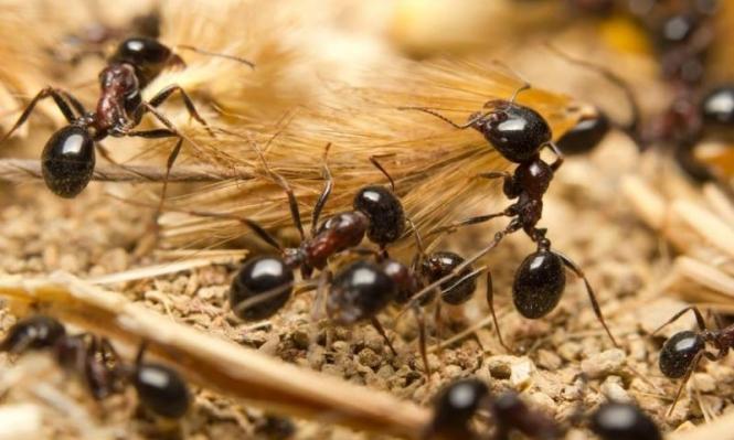 النمل الأسود: يشكل فصائل كبيرة ويشن حروبًا قتالية كالإنسان   علوم وتكنولوجيا   عرب 48