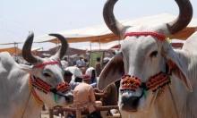 مقترح حكومي هندي لمنح أرقام هوية فريدة للأبقار!