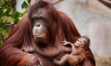 """عمليات إنقاذ لقرد من فصيل """"إنسان الغاب"""" النادر في إندونيسيا"""