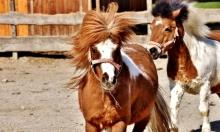 """جنينة الحيوان تقر: السيسي تحول إلى حصان """"شيتلاند"""""""