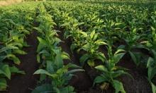 """ما هي الأضرار """"الهائلة"""" التي تسببها زراعة التبغ؟"""