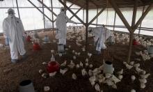 أنفلونزا الطيور تتفشى في إيتوري بالكونجو