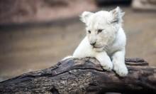 أسد أبيض نادر في حديقة حيوان عراقية