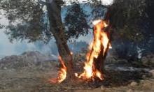 مستوطنون يشعلون النار بأشجار زيتون غربي نابلس