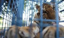 نقل الحيوانات المفترسة من حديقة إدلب السورية للعلاج في تركيا