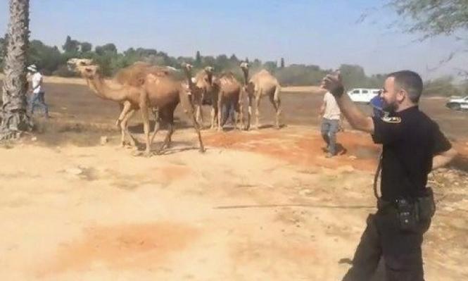 النقب: اعتقال صاحب قطيع إبل بادعاء تشكيله خطرا على الشارع