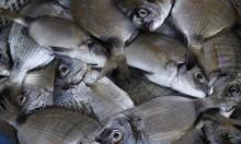 أسماك تهاجم المستجمين في شواطئ البلاد