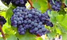 العنب الأسود: يكافح تصلب الشرايين وسرطان القولون والزهايمر