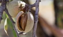كيف تؤثر ثمرة اللوز على مستوى الكولسترول في الجسم؟