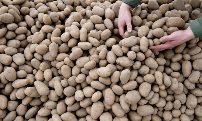 كيف عززت البطاطا صعود الرأسمالية الليبرالية؟