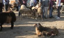 سوق نابلس لبيع الأضاحي: أسعار مستقرة وحركة نشطة