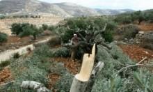 المستوطنون يقطعون 43 شجرة زيتون قرب نابلس