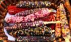 شاهد: ذرة بتسعة ألوان في تركيا