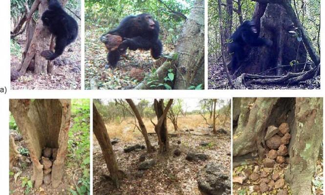 """""""الطقوس الدينية"""" عند الشمبانزي: الرجوع إلى الإنسان الأوّل"""