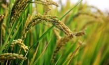 تطوير سلالة جديدة من الأرز مقاومة للتلوث