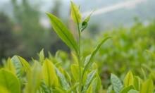 الشاي الأخضر يساهم بالوقاية من ألزهايمر