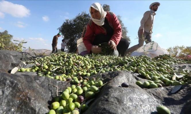 قريوت تقطف ثمار زيتونها رغم اعتداءات المستوطنين