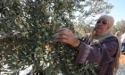 مستوطنون ينهبون ثمار الزيتون قرب رام الله ونابلس