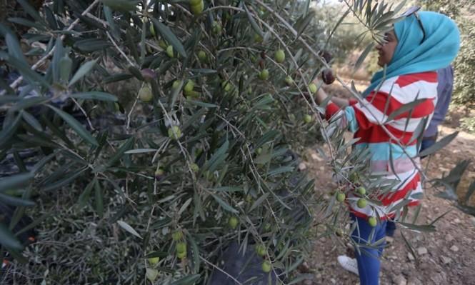 قوات الاحتلال تعتدي على قاطفي الزيتون شمال الضفة الغربية