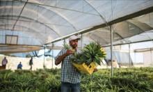 مزارعو غزة ينجحون بأول تجربة لزراعة الأناناس