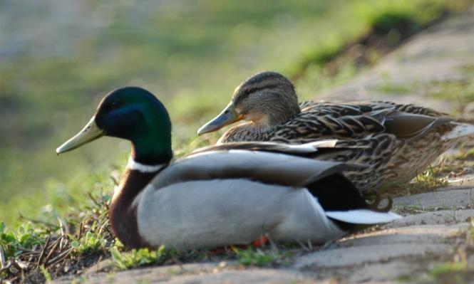 ظهور جديد لإنفلونزا الطيور في هولندا