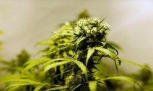 المكسيك تتيح بيع منتجات تحوي نبتة الماريجوانا