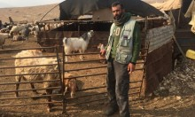 وباء الطاعون يفتك بقطعان المواشي في الأغوار