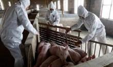 طاعون الخنازير يثير مخاوف المزارعين الألمان