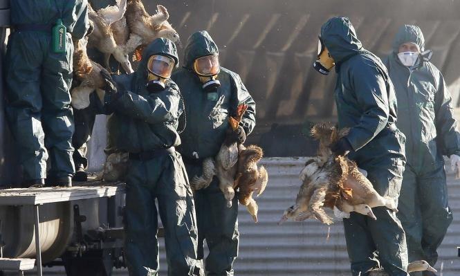 اكتشاف سلالة شديدة العدوى من إنفلونزا الطيور في الهند