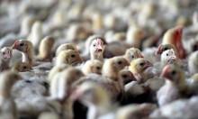 العراق: إعدام 218 ألف طائر بسبب انفلونزا الطيور