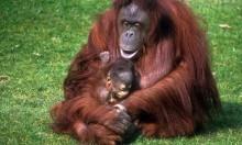 إندونيسيا:طعن إنسان غاب معرض للانقراض وإطلاق النار عليه