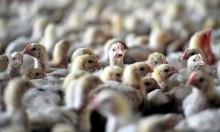 العراق: 9 اصابات جديدة بإنفلونزا الطيور