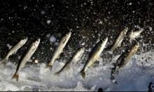 باحثون: الأسماك الدهنية تساعد في الوقاية من السرطان