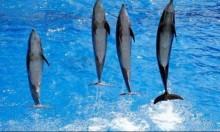 فرنسا: السماح بتربية الحيتان والدلافين بعد حظر لنصف عام