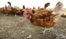 بسبب إنفلونزا الطيور: إيران تعدم 25 مليون دجاجة