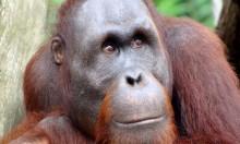 """تراجع أعداد حيوان """"إنسان الغاب"""" بنحو 50%"""