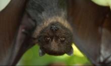 باحثون يكشفون الخريطة الجينية للخفافيش مصاصة الدماء