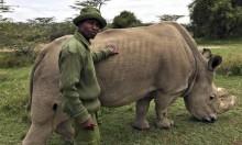 مساعٍ لإنقاذ آخر ذكر وحيد قرن أبيض من الانقراض