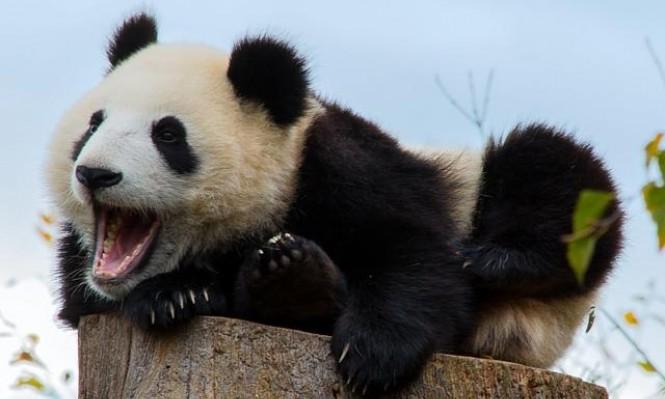 الصين تعتزم إنشاء متنزه وطني للباندا العملاقة